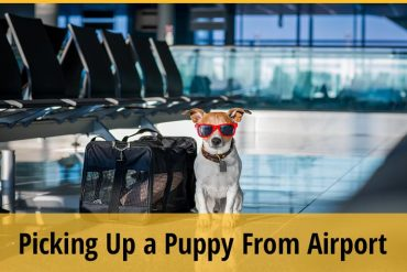 Things To Do When Picking Up A Puppy From The Airport