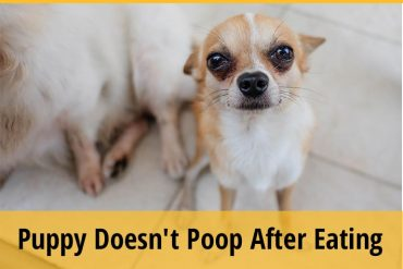 Why My Puppy Doesnt Poop After Eating