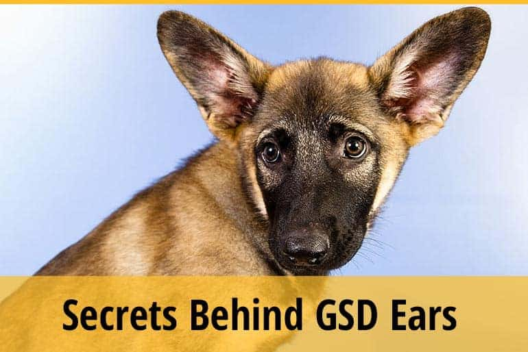 Secrets & Meaning Behind German Shepherds Ears