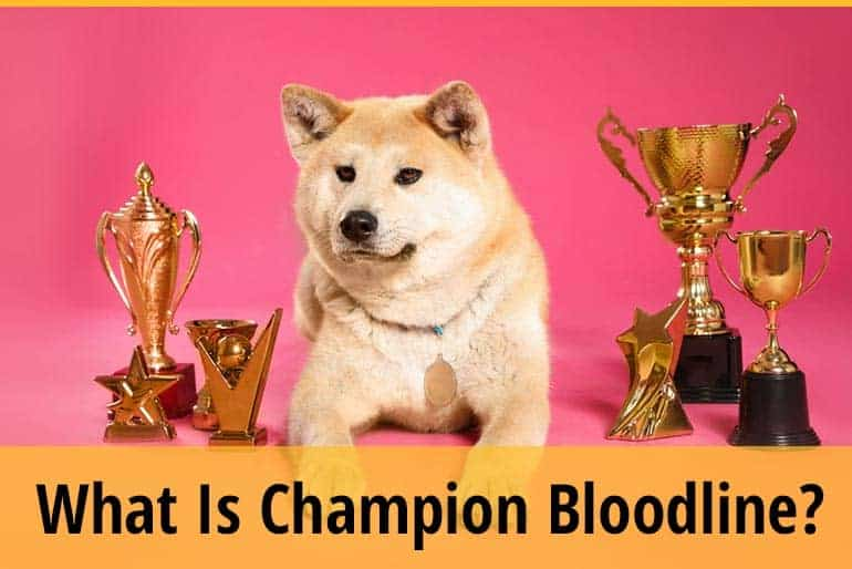 Champion bloodlines- What does it mean