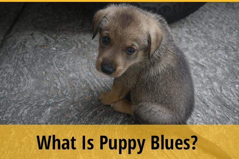 What Is Puppy Blues