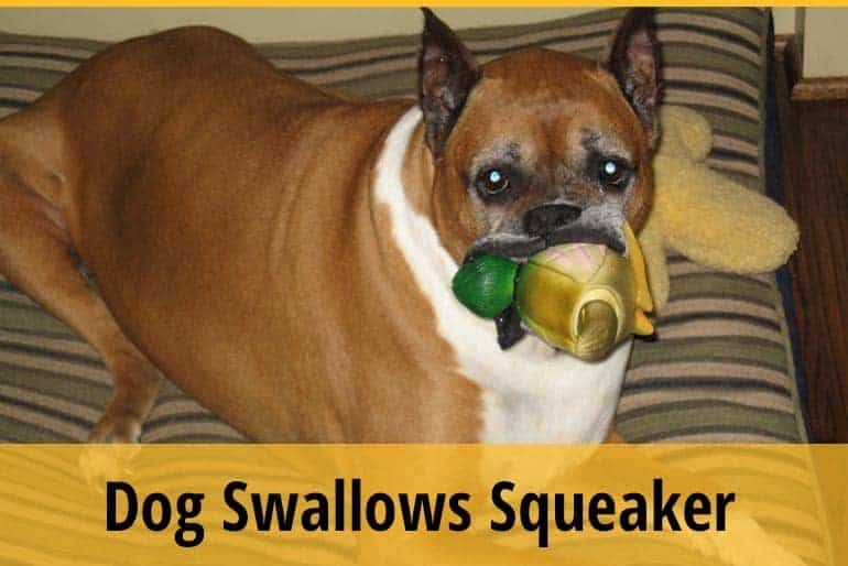 What To Do When Your Dog Swallows Squeaker