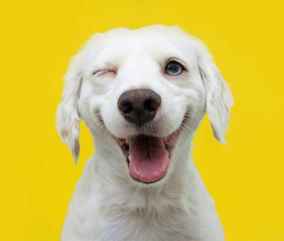 dog winking yellow background