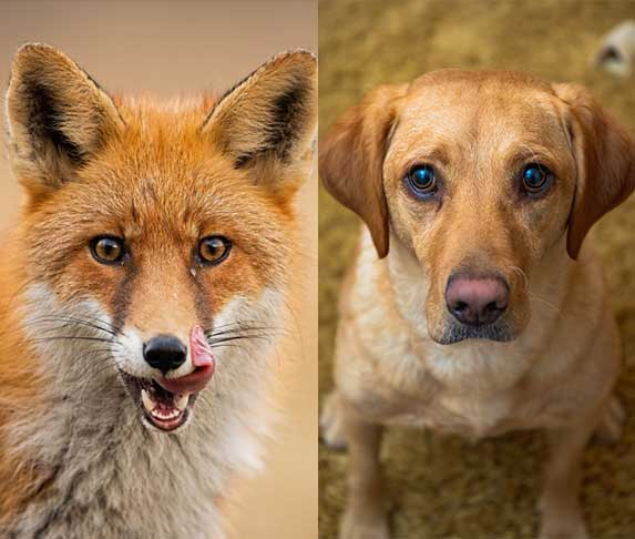 fox and dog difference