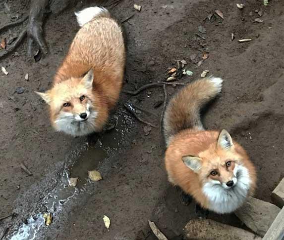 fox looking up