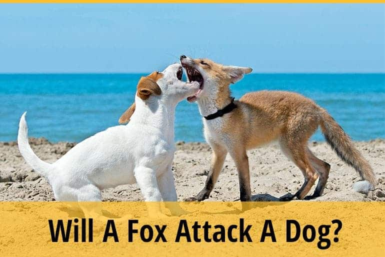 Will A Fox Attack A Dog