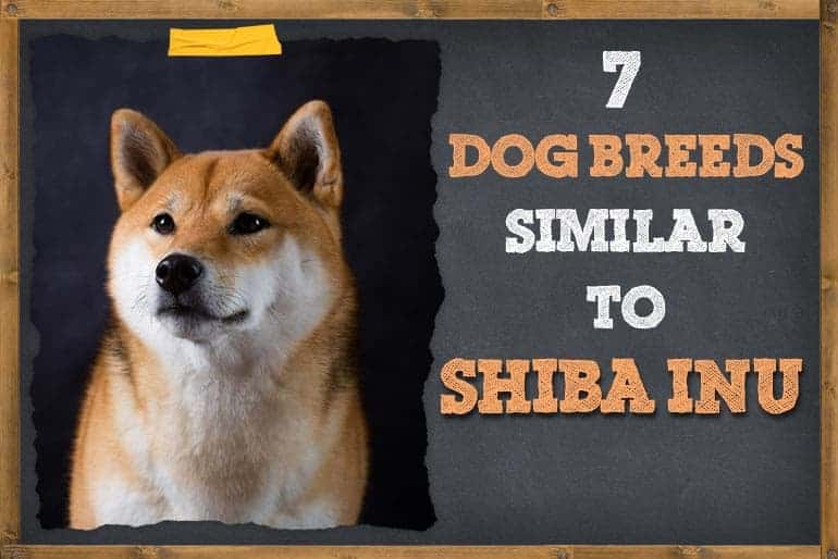 7 Dog Breeds Like Shiba Inu
