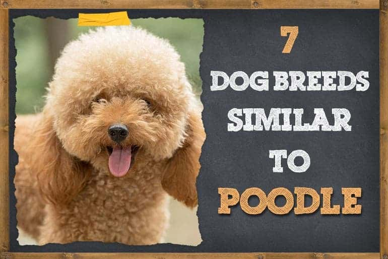 7 Dogs that Look Like Poodles