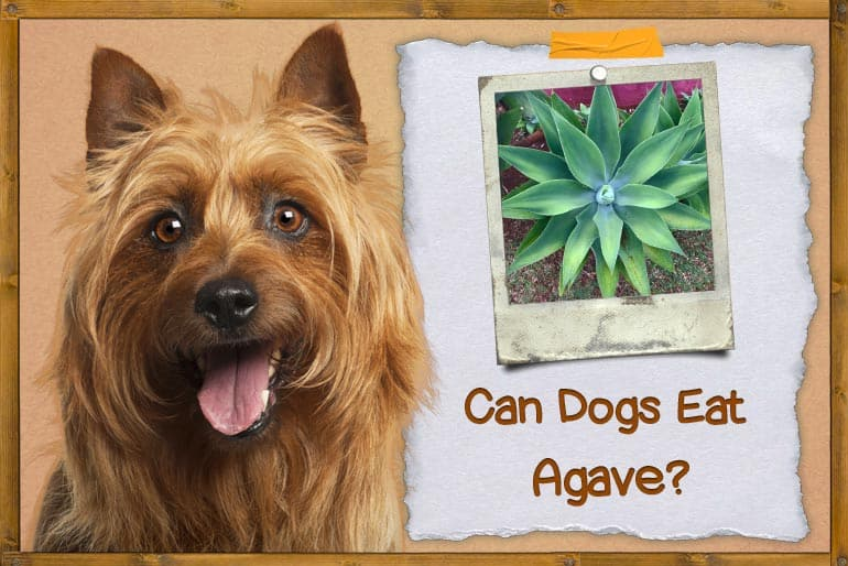 Can Dogs Eat Agave