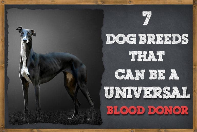 7 Dog Breeds That Can Be a Universal Blood Donors