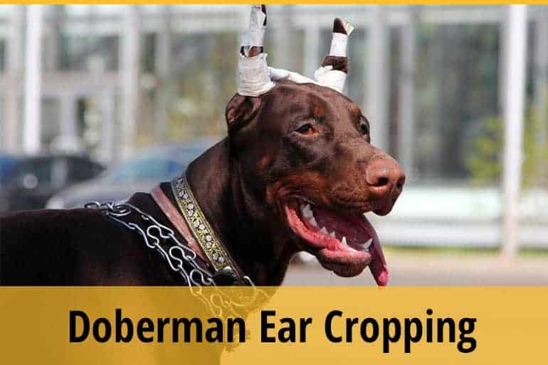 Doberman Ear Cropping Aftercare 101