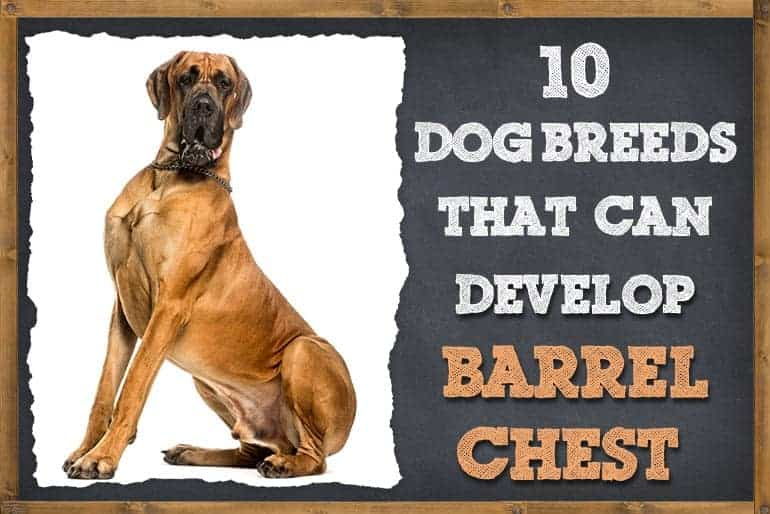 10 Dog Breeds That Can Develop Barrel Chest