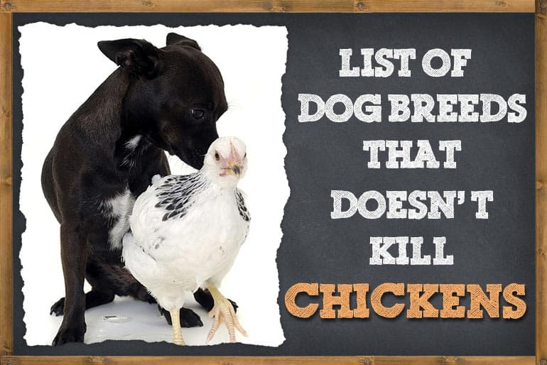 Dog Breeds That Do Not Kill Chicken