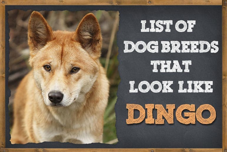 Dog Breeds That Look Like Dingo