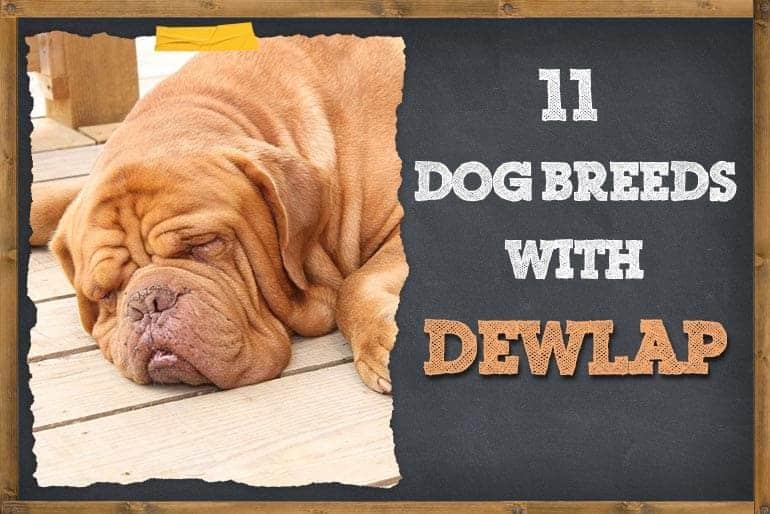 X Dog Breeds With Dewlap