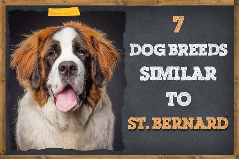 7 Dogs That Look Like St. Bernards
