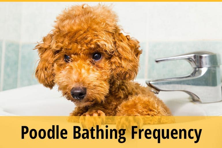 How Often Should I Bathe A Poodle