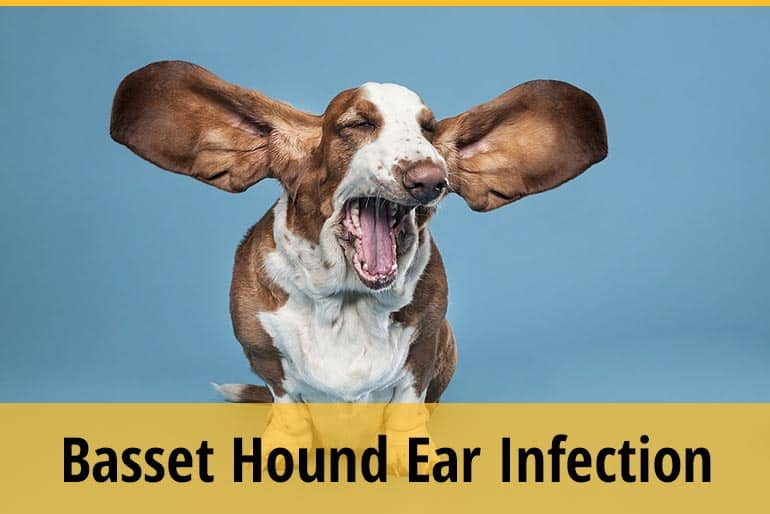 How To Tell If Your Basset Hound Has An Ear Infection