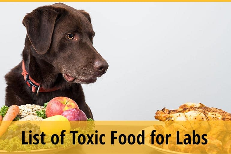 What Foods Are Toxic & Dangerous to Labrador Retriever