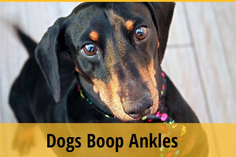 Why Do Dogs Boop Your Ankles