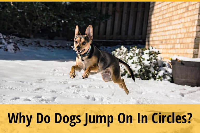 Why Do Dogs Jump On In Circles