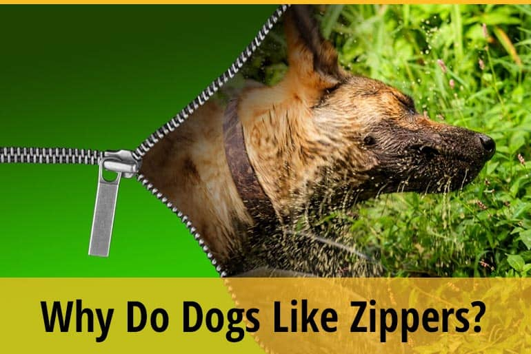 Why Do Dogs Like Zippers