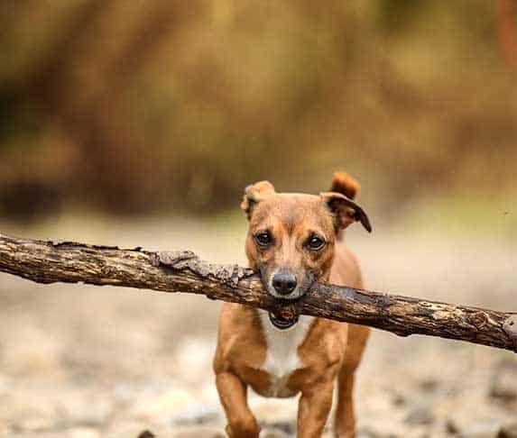 dog carrying a big stick