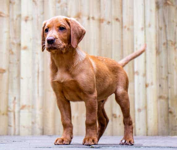 puppy standing