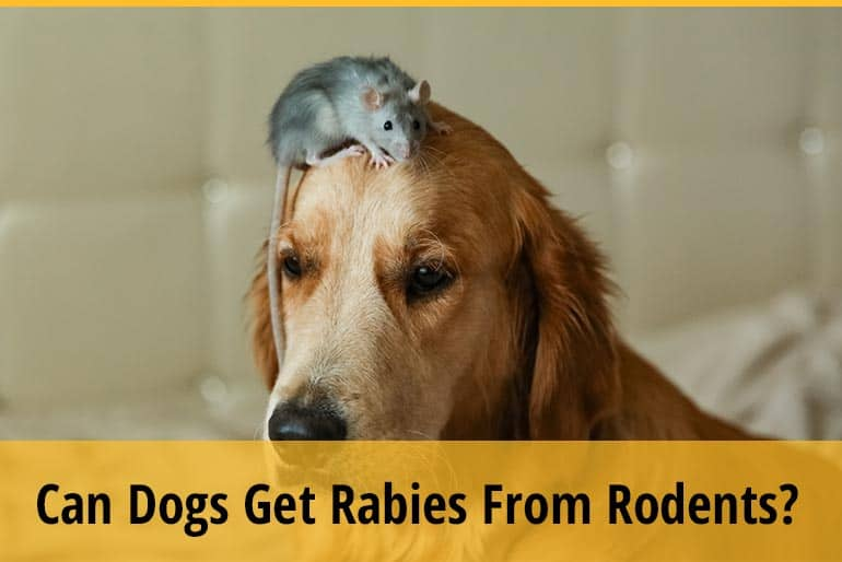 Can Dogs Get Rabies From Rodents