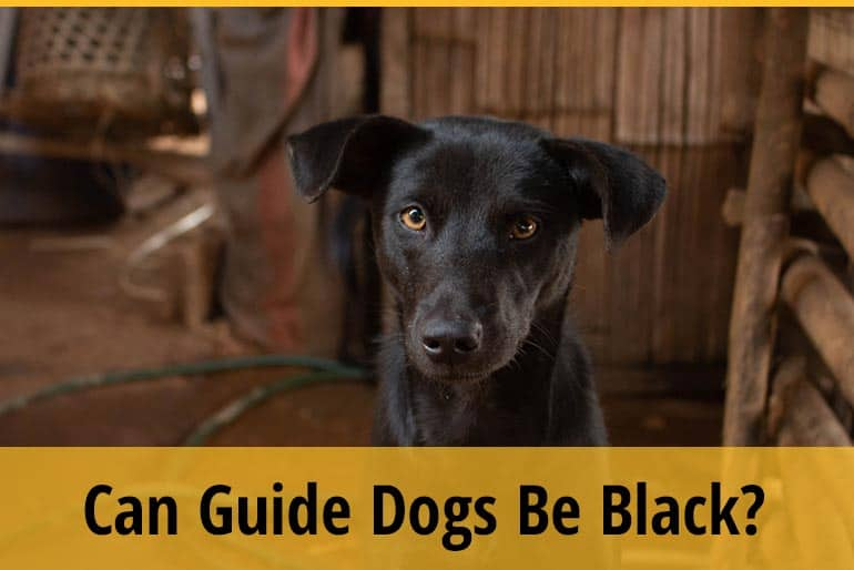 Can Guide Dogs Be Black
