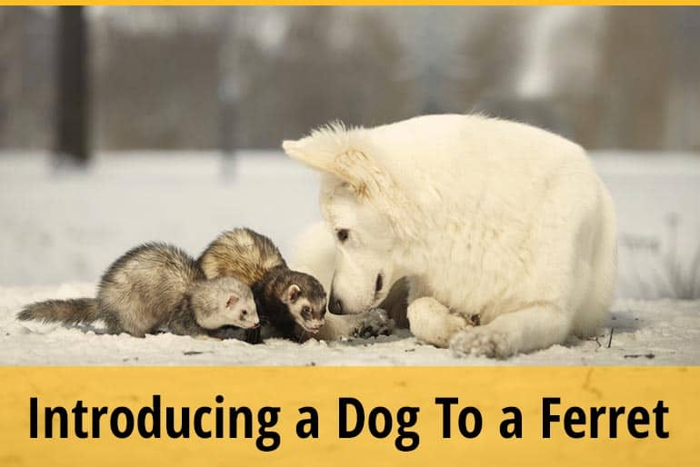 Do Dogs Get Along With Ferrets