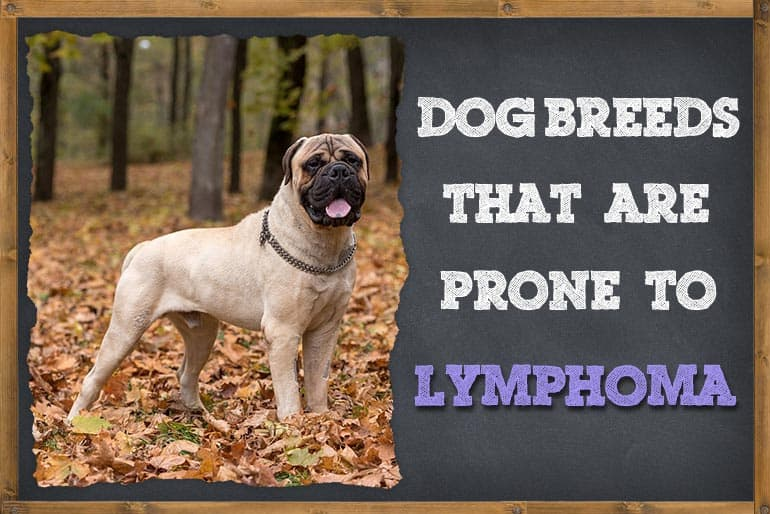 Dog Breeds That Are Prone To Lymphoma