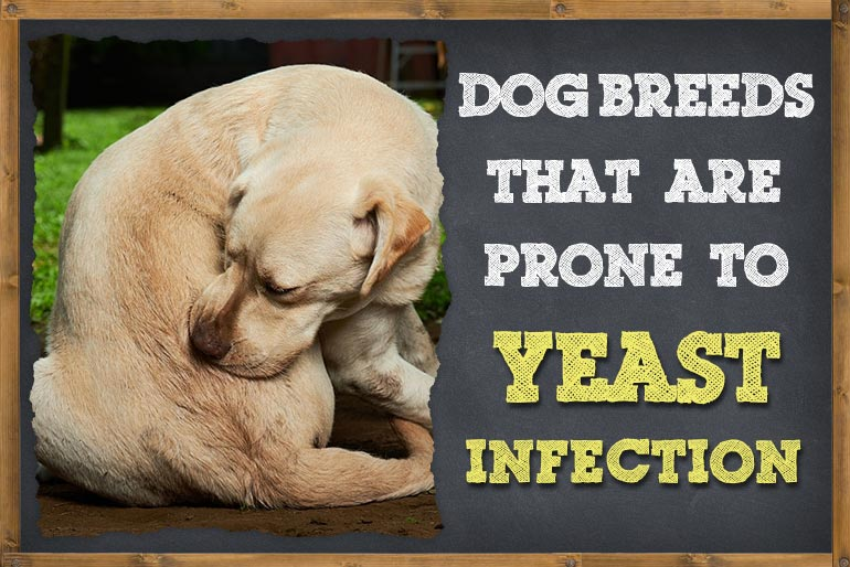 Dog Breeds That Are Prone To Yeast Infections