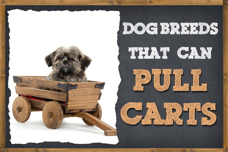 Dog Breeds That Pull Carts