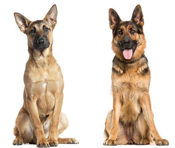 Belgian Malinois and german shepherd