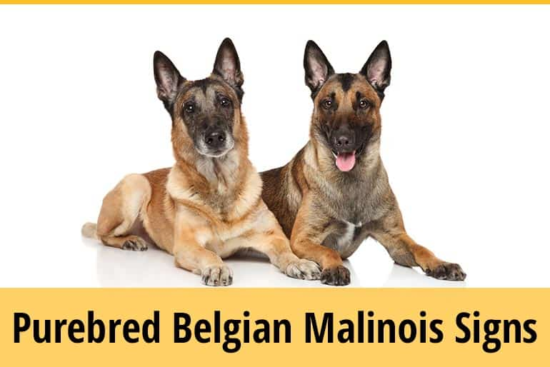 How Do I Know If My Belgian Malinois Is Purebred