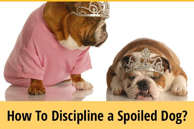 How To Discipline A Spoiled Dog