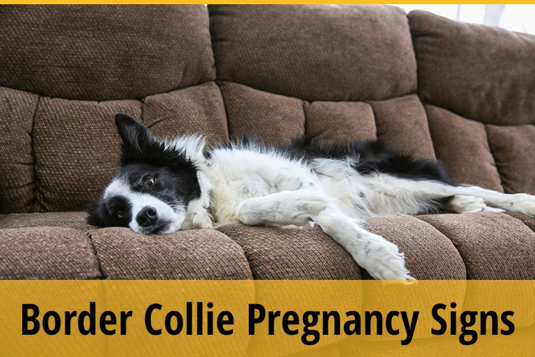 How To Tell If Your Border Collie Is Pregnant