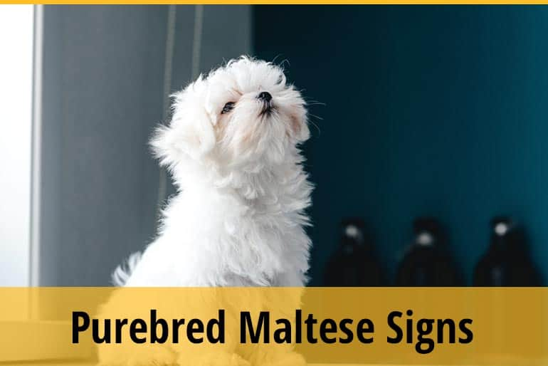 How To Tell If Your Maltese Is Purebred
