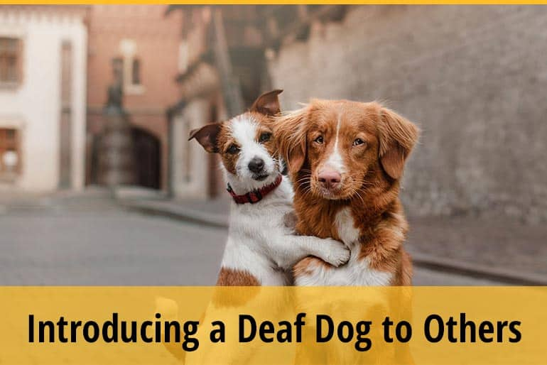 How to Introduce A Deaf Dog to Another Dog
