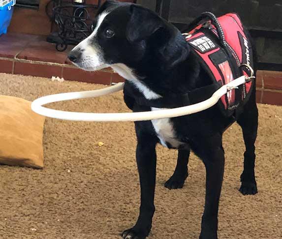 blind dog wearing bump collar