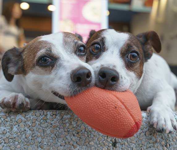 two puppies sharing a toy