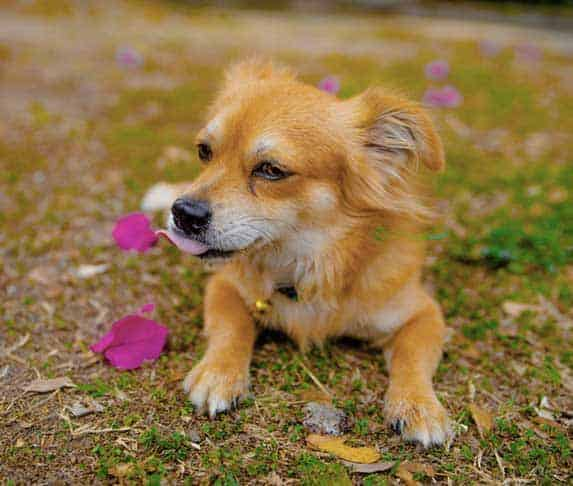 dog with Bougainvillea
