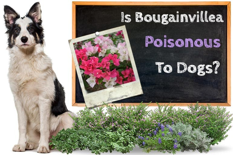 Is Bougainvillea Poisonous to Dogs