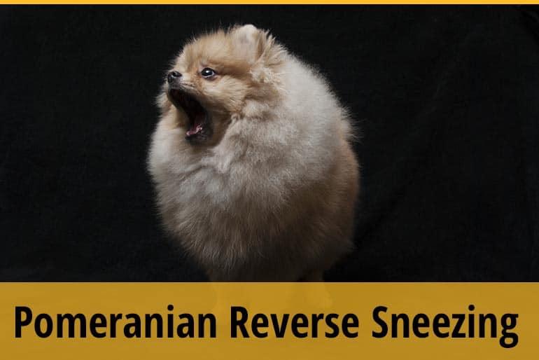 Pomeranian Reverse Sneezing