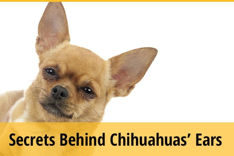 Secrets & Meaning Behind Chihuahuas' Ears