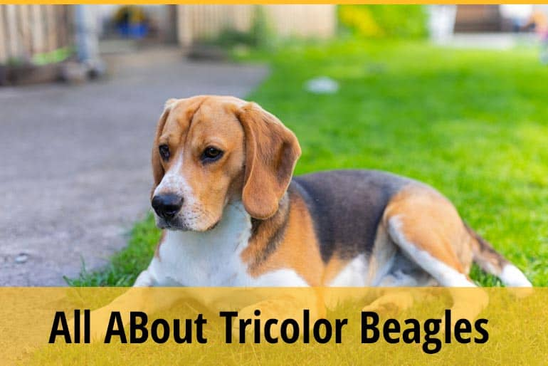 Things To know About Tricolor Beagles