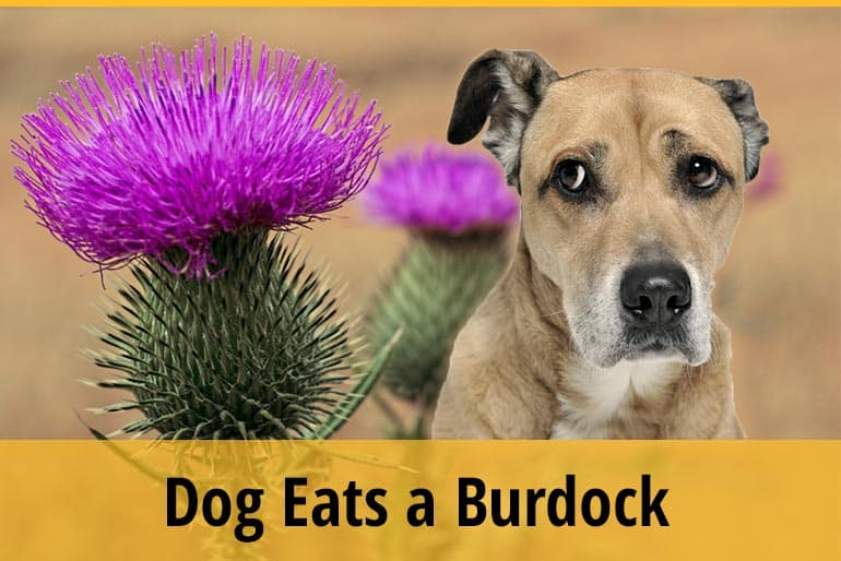 What To Do If Your Dog Eats A Burdock