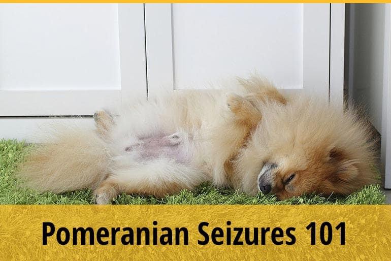 What To Do When Your Pomeranian Has Seizures