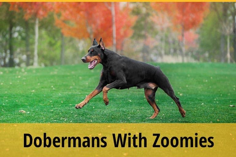 Why Do Dobermans Get the Zoomies & Run Around Like Crazy